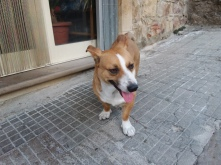 A stray dog in Mistretta that everybody loves named polpetta (meatball)
